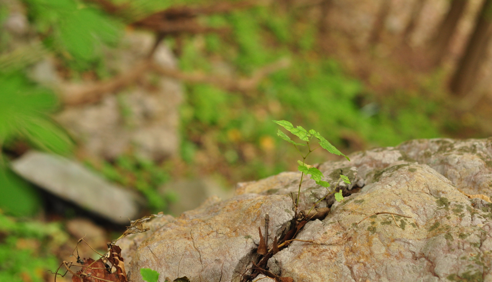 Sapling growing in rock in forest